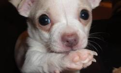 Beautiful Tiny Registered Purebred Apple Head Male Chihuahua Puppy. Will be ready to go home just in time for Valentines Day!! Pics are taken close up, he really is a tiny boy. Tiny T-cup size white male weighed 2.5 ounces at birth, approximate adult
