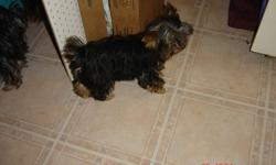 It is time I left home.I'm looking for a Loving Friend. I am a beautiful little male puppy Weighs 4lbs and 5 ounces and I am pretty well full grown. Dew claws removed and tail is docked. Has  had shots and de-wormed. Paper trained. My Mom is a CKC