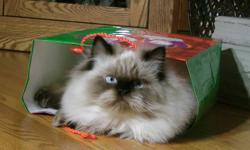 We have a Seal Point Himalayan available. He is purebred, TICA (The International Cat Association) Registered. He is PKD Negative. He is a sweetie and likes to get snuggles and always has to be close by. He can be quite the helper. He is smart and