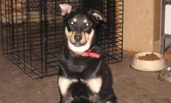 hailey is a wonderful shepard/ rottie mix that won't get too big.   she was rescued from the north with her brothers and her mother.She is going to be just above knee height.  She loves kids and other dogs and listens very well.  She could be easily