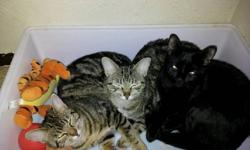 This mother cat and her 2 kittens were abandoned when the babies were quite young. Luckily, they were rescued by a good samaritan and have been living indoors for most of their short lives. They are all fully litter box trained and have very sweet,