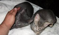 Five abandoned kittens found. About 8 weeks old. They have been nursed back to health and need a loving home. 1 monochrome dark gray, very cute largest one in the litter, kinda looks monkeyish. 1 Calico but mostly gray. 2 Orange in color, 1 has short fur
