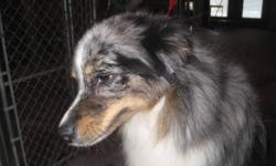 Minky is a 16inch Blue Merle Miniature Australian Shepherd spayed female. She is looking for a forever home. Minky is very affectionate but she is slightly insecure. She would do best in a home with an older confident dog, no young children or cats. She