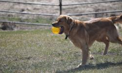 Mother is Chesapeake Retriever Father is Golden Retriever Puppies are black and/or brown retriever cross, Medium to large dog and will make very good family dog. 2nd litter to this Mother and same Father, puppies very friendly and outgoing. Price includes