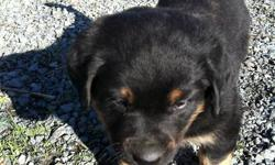 Rotti-Lab pups. 3 males left; 2 blacks and one with rotti markings.  Will be 8 weeks old on Nov. 26. Only $400.