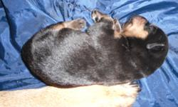 ROTTI PUPS READY TO GO JAN. 18 Due to new animal rights laws, tails are NOT docked. Parents are beautiful, have great temperment,are great with young children and can both be seen on site.A $250 deposit will reserve the pup of your choice.Males and