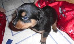ROTTI PUPS READY TO GO JAN. 18 tails are NOT docked. Parents are beautiful, have great temperment,are great with young children and other animals. both dogs can be seen on site.A $250 deposit will reserve the pup of your choice.Males and females still