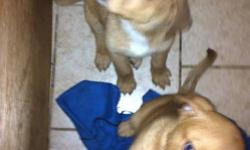Mother is a Shepard/lab and the father is a purebred Rottweiler. The puppies are 13 weeks old and need a home. I have 1 male and 1 female left. They do not have their shots I am asking $50 obo This ad was posted with the Kijiji Classifieds app.