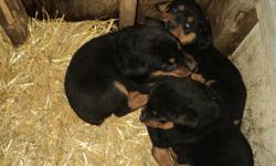Rottweiler pupies for sale 6 females at $300 obo and 2 males at $400 obo vet checked first shots and tails docked plz no emails as per i do not have a computer at home thanks text at (519)983-8800