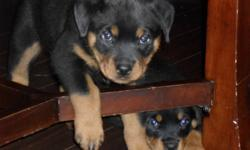 Rottweiler puppies looking for a great home. Born Oct 5 2011, all puppies have had their tail's docked, dew claw's removed and their first set of shots. $500.00 firm, ready to go to their loving new home any time now. There are 2 beautiful loving, fun