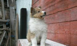 6 Outstanding Sable and Tri-color male and female puppies! This line of Collies offer outstanding loyality and family friendly inside or outdoor dogs. Puppies are weaning, eating well and ready to go to their next home. Please call for available colors or