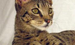 Spidersweb is a small TICA registered in-home cattery, focused on socilization, temperament, health and quality.  We currently have available two juvenile females: One F4C born August 11, 2011 and One F5SBT born May 29th, 2011.  See links below for more