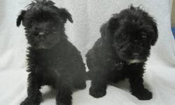 Adorable, first-generation cross, female Schnoodle puppies.  Our puppies are, Family raised, well socialized, non-shedding, and vet checked. They've had their first vaccinations,  first revolution treatment, and been dewormed twice before leaving us at 8