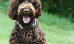 Scotia Doodles is excited to announce their upcoming litter of standard Multi-Gen Australian Labradoodles. Halle will be honey-mooning with Crosby to have  gorgeous standard cream and chocolate pups next spring(2012). We will be taking only 7 bookings for