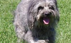 Breed: Terrier   Age: Senior   Sex: M   Size: M Rocky, also known as Rockstar, is an old soul who I realize is nearing the end of life. He doesn't hold his pee like he used to, and his old cloudy eyes don't see as clearly as they once did, but at this