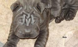 Beautiful Blue Shar Pei pups...only one male left. I don't sell these as purbred because the father is unregistered but he is a very high quality Blue Shar Pei. They all have blue eyes and are eating on their own. They will be ready to go to their new
