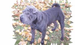 We have a sweet tempered 2 1/2 year old blue shar pei female, Stormy, who is looking for a good home and a forever friend and family. She has been accustomed to lots of outdoor time as we live in the country. She loves the out of doors and lots of space