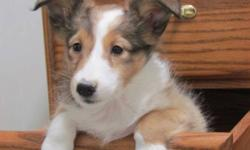 Beautiful great looking Purebred sheltie puppies ready for there new homes. Surprise your family this christmas. Vet checked dewormed and vaccinated. Both parents are AKC registered and availble for viewing as well. Pups are well socialized with other