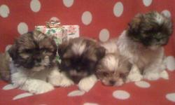 I have 4 Shih-tzu puppies for sale there are 2 males and 2 females...  They come vet checked, first set of shots, and deworming.  The females are $450 and the males are $400......   Please call Shannon @ 519-978-9299 if you are interested.  The second