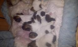 Shih-Tzu puppies born Aug 23,11. there are 1male and 4females.Vet check,First Dewormed shot with vet record. mother and mother are both shih tzu home trained they are friendly and playful and very cute. Hypo Allergenic and Non Shedding And we are . Aproxi