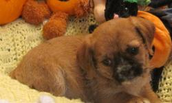 SHIH-TZU X TERRIER (1 male and 6 females)   The first 6 pictures are the females Pictures 7 & 8 are the male   Shih-Tzu X Terrier are small dogs weighing up to approximately 12 pounds with an average life expectancy of 12 to 16 years. A well bred dog on a