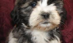 Shih Ztu  X  Poodle puppies.  2 males and 1 female available.  Both parents are on site.  Puppies are vetted, vaccinated and have been dewormed.  Vet records are updated and go home with puppies as well as a puppy starter pack.