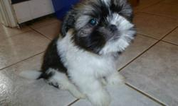 Adorable Shih Tzu Puppies are a charming and attractive breed. They make an excellent companion to children, and is devoted to it's home and family. They do not shed. These are special dogs with big hearts. They remain one of the worlds most popular