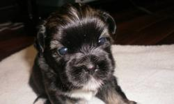 Shih Szu puppies for sale,  2 males and 1 female mom and dad are both Shih Szu and can be seen. very social animals , loves kids , cats and adults . will be eating , drinking , paper trained and dewormed before they go . asking $ 400.00 for puppies