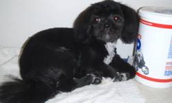 This sweet, tuxedo coloring, 7 month old Shih tzu, female is super friendly and smart. She loves to cuddle.
