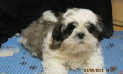 My name is Cujo and I am looking for a forever loving home.  My mother is Shih Tzu with 1/8 Lhasa Apso,8 lbs, Father is full Shih Tzu, 9.5 lbs. We are Hypo-Allergenic and Non-shedding. Come with Vet approval, first shots, first and second deworming, paper