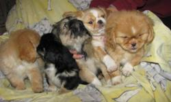 Friendly well socialized puppies are ready for a new loving home. Deworming and vaccination up to date. Mother is pekingese-lhasa apso cross, about 13 lbs father is shih tzu, about 10 lbs Will deliver to Winnipeg and Selkirk. No e-mail please, phone