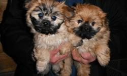 BEAUTIFUL POM X PUPS TWO FEMALES(one left) AND ONE MALE(sold) LOVING ENERGETIC AND FAMILY READY. FIRST AND SECOND SHOTS DONE AND DEWORMING CAN HOLD THESE LITTLE GUYS FOR CHRISTMAS WILL ALSO DELIVER TO SASKATOON AND NORTH BATTLEFORD PLEASE EMAIL OR CALL