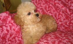 Shih Tzu/poodle pup male, born Aug.4, 2011. First shots, dewormed and groomed. Will weigh 8-12 lbs. at maturity. Home raised. Little beauty, very loving, great companion. Parents on site. Delivery can be arranged. Please call 1 705 786 2833.