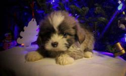 REDUCED PRICE!!!! PUPPIES ARE READY TO GO!!!!!!!!    3 Shih Tzu Puppies All puppies have 1st shots, been de-wormed and have a Vet Health Certificate. They are Non-shedding, hypo-Allergenic dogs. That make great family pets!   I have 2 Female and 1 Males.