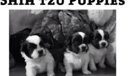 We have home raised Shih Tzu puppies ready for Christmas. Both parents on site, vet checked, both male and female available. (705) 221-3462 This ad was posted with the Kijiji Classifieds app.