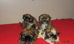 I have 2 girls and 2 boys.  Mother and Father are full Shih Tzu, puppies come with Vet approval, first shots, first and second deworming. Puppies are home raised, come paper-trained, groomed and pre-spoiled. They are Hypo-Allergenic, Non-Shedding, will