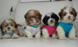 100% SHIH-TZU? (NOT A MIX) FRIDAY/SATURDAY/SUNDAY $500-$25= $475 Cute, cuddly, and very fluffy! 4 little shih-tzu puppies ready to go now. This a hypoallergenic breed, which means they are non-shedding, and great for people with allergies. They stay very