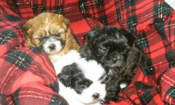 We have 1 adorable shih tzu's puppy left. Little black & white baby girl left. We own both mom & dad. Dad is pure shih tzu & mom is shih tzu x toy poodle.They are very affectionate, loving dogs, great companion dogs. Non shredders/ hypoallergenic. Her 1st