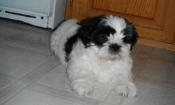 We have 1 adorable shih tzu's puppy left. Little black & white baby girl We own both mom & dad. Dad is pure shih tzu & mom is shih tzu x toy poodle. Very affectionate loving dogs, great companion dogs. Non shredders/ hypoallergenic. Her 1st litter all