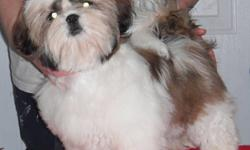 Georgia ZRK 5 Y Shih Tzu Spayed Female born May 4, 2011. Fully Vaccinated, Full Health Guarantee, 6 weeks Free Veterinary Health Insurance, Tattooed for identification, Registered on Non Breeding Agreement. $1000 + HST (Already spayed) OR Samantha ZRK 6