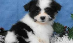 We have four female puppies and 4 male puppies available. Puppies Mom is Shih Tzu and Father is Pomeranian. Our puppies are very playful and loving! They all have beautiful markings and will stay small. Puppies come with their first vaccinations, and we