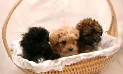 Shih Tzu x Toy Poodle Born Oct 11, 2011 $500 Hypoallergenic, these small allergy-friendly puppies will be ready for their new homes. These gentle and loyal little babies are spunky and alert, they make friends easily, love to be with people and they are
