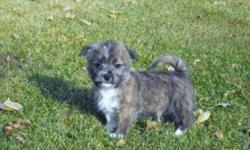 Westie x Shih Tzu puppies, 4 males and 1 female available. They love to play, and have great personalities! Can delivery. My puppies have beautiful colors and are family raised. They have gotten their 1st vaccinations, and come with warranty. Puppies have