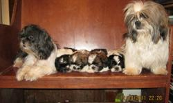 Beautiful male shihtzu puppies for sale being raized in a family home with children they are very loveable and are eating now will be ready to go for christmas eve to their new loving home.