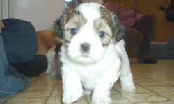 Shihtzu/Toy Poodle x Puppies for Sale Ready to go Jan.8, 2012 Will be vet checked with first shots and dewormed. Non-shedding pups should be on smaller side, Shihtzu Mom (8lbs) Toy Poodle Dad (5lbs) Pups are already super friendly. Exposed to children,