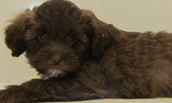 Sharp looking litter of shipoo available now for there new home.  Parents on site pups will grow to be about 10 lbs full grown.  Low to non shedding considered by some hypoallergenic they are well socialized with children as well as with other dogs.