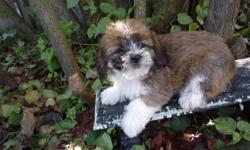 Shih-Poos   These puppies comes with thier 1st shots,  dewormed.  They?ll also come with their vet records and a puppy package which includes a toy, a collar ,a leash a blanket and some food to start you off with.  For more information please call