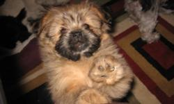 """Shiranians are a recognized hybrid(designer breed) in the U.S. (""""Google"""" Shiranian). Two Mothers=One 11lb black and white Shih-tzu, the other 12lb grey,silver and white Shih-tzu. Father is a burgundy black 4 1/4lb Pomeranian.All on premises. We have 4"""