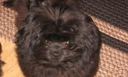 Two Mothers=One 11lb black and white Shih-tzu, the other 12lb grey,silver and white Shih-tzu. Father is a burgundy black 4 1/4lb Pomeranian. We have all the parents. We have 2 black males left, one has 1 white toe on each of his back paws. Both have first
