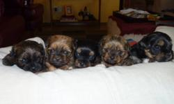 "2 males, 3 females.  Yorkie Shih Tzu Cross, Born Oct 17, 2011.  Awesome parents.  Puppies will have sweet personality too!   Great family dog.  Puppies will be vet checked, dewormed & have first shots.  They will also come with a ""Christmas Puppy Pack""."